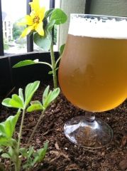 Passion Fruit American Wheat beer next to a small sunflower in the balcony garden