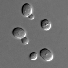 Saccharomyces cerevisiae (image credit: wikimedia commons)
